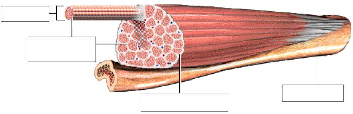 Ch  Muscular System Up To Pg  Of Ch