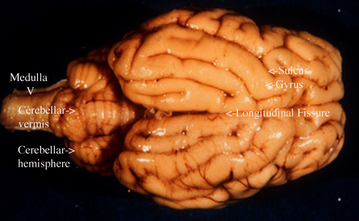 Sheep brain anatomy ventral - photo#47