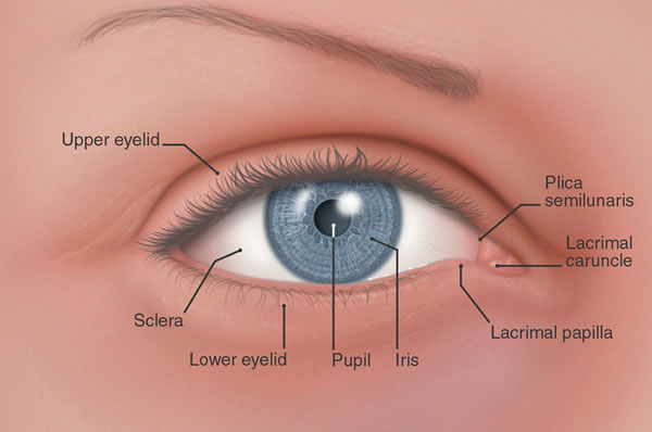 The Eye Parts And Definitions Flashcards By Proprofs