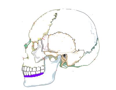 Alveolar ProcessAlveolar Process Skull