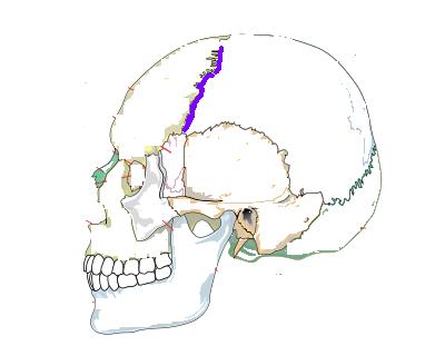 Skull Bones Flashcards By Proprofs