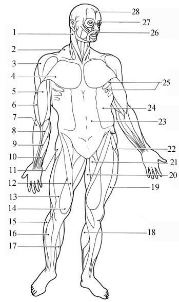 Muscular Body Diagram Blank