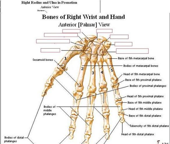 Bones of upper limb anatomy