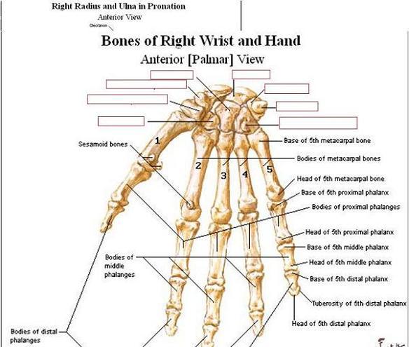 Bones of upper limb anatomy