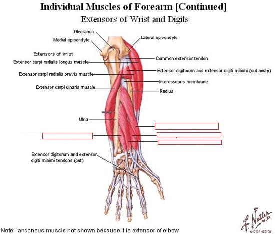 STRUCTURAL ANATOMY MIDTERM (UPPER LIMB) Flashcards by ProProfs