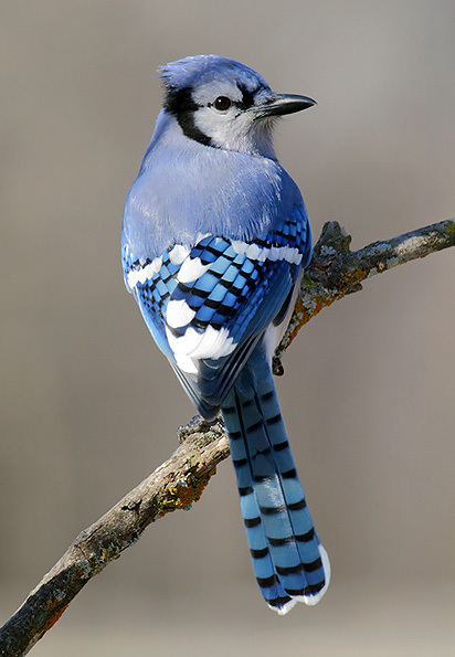 Michigan Birds Test Flashcards