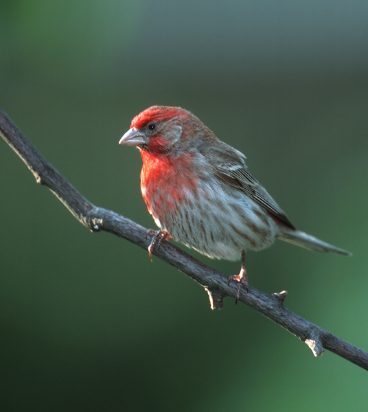 Michigan Birds ID Test Flashcards by ProProfs